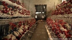 granja industrial de pollastres